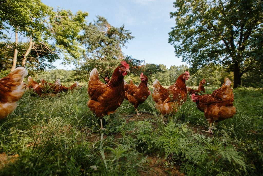 Chickens in a green pasture.