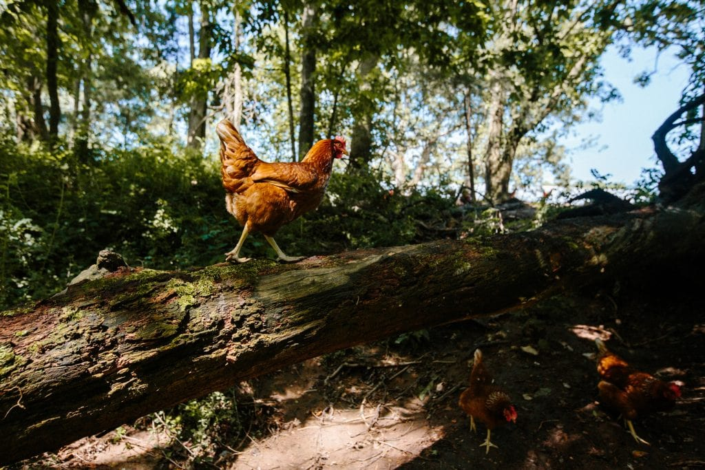 A chicken strutting along a fallen log in a wooded pasture.
