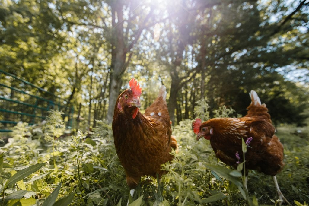 Two chickens in a wooded pasture with the the sunlight shining down.