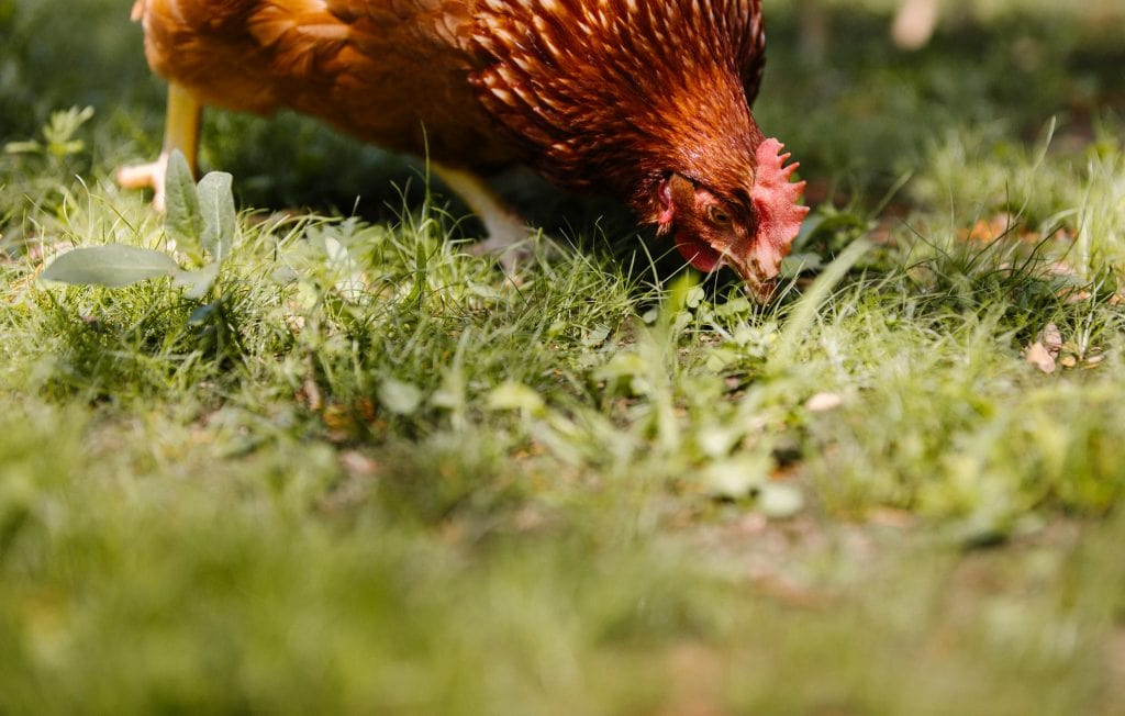 A close up of a chicken pecking at the grassy ground