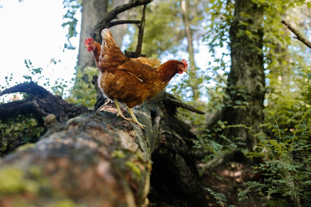 Two chickens on a log in the forrest