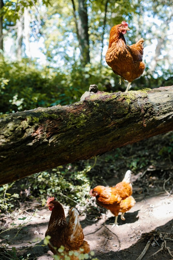 A chicken standing on a fallen log in a wooded pasture with two other chickens milling around underneath it.