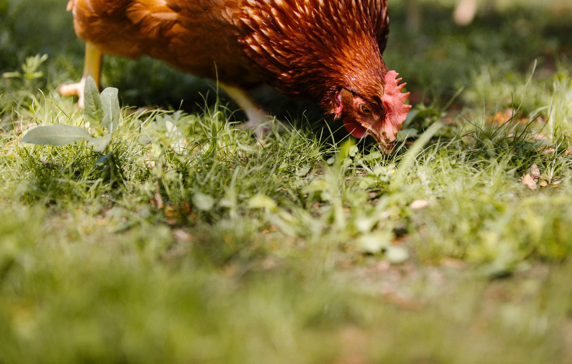Chicken eating in a grassy field.