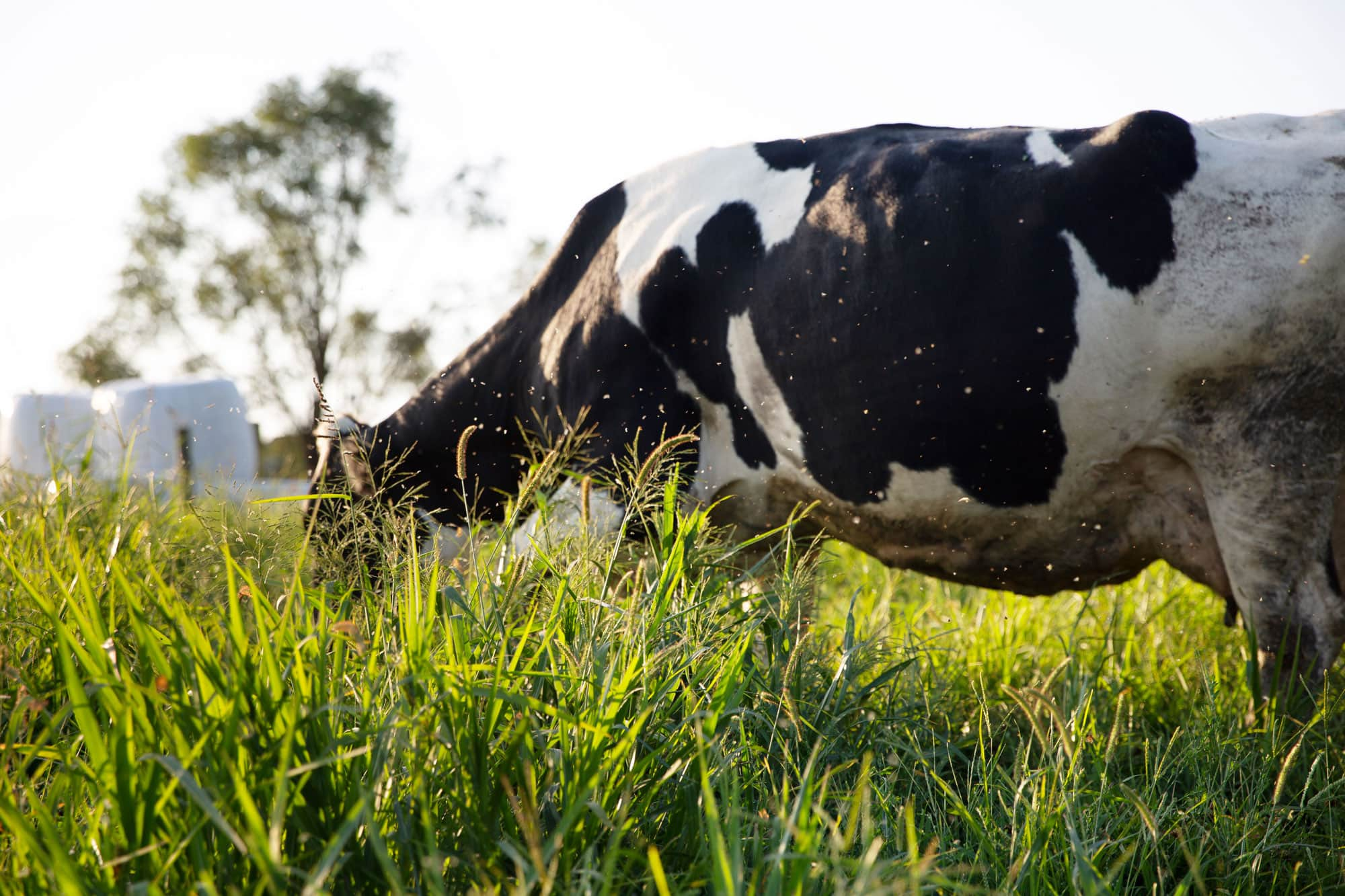 Cow outdoors in a green grassy field eating grass