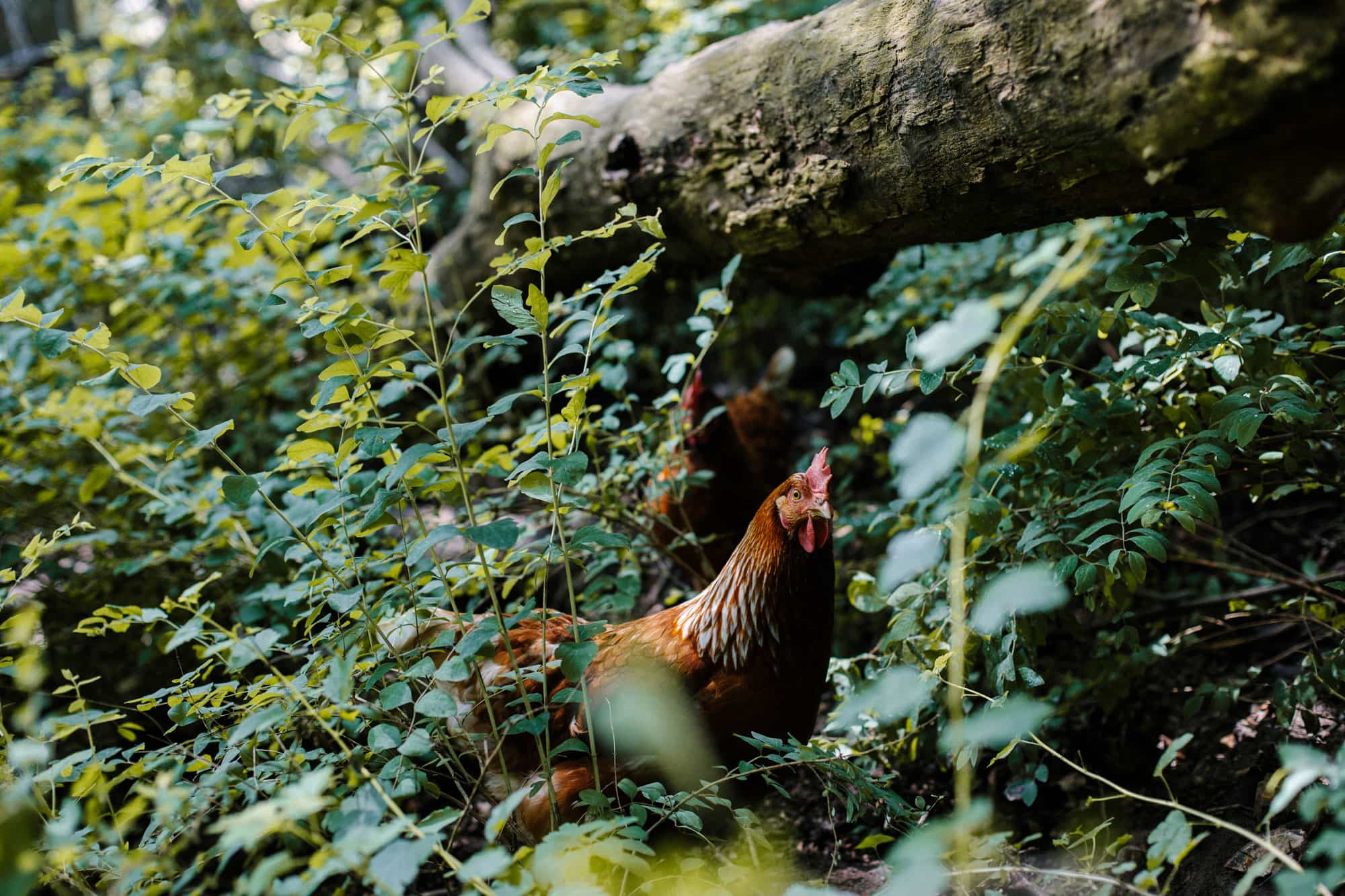 A chicken hanging out in the woods with lots of greenery.