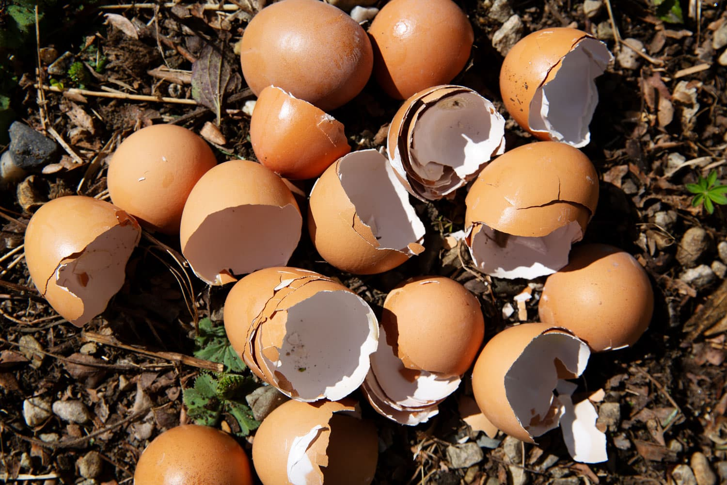 Eggshells lying on the ground in a garden.