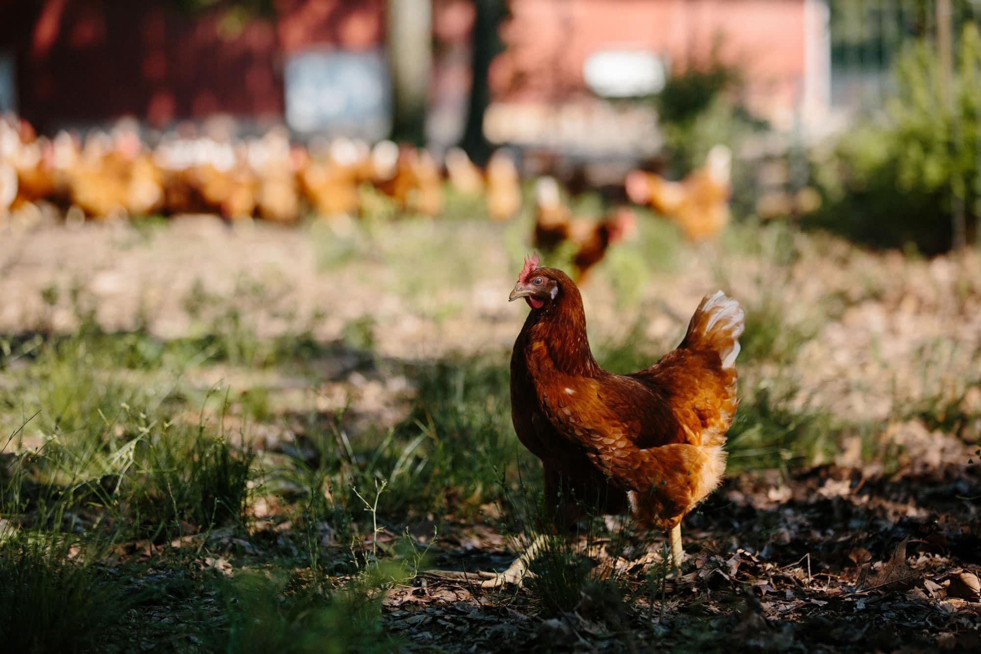 A chicken strutting around in a pasture.