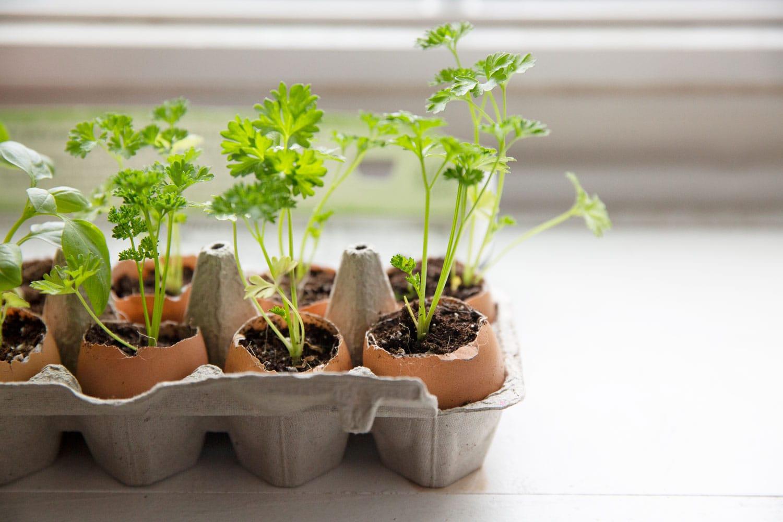 Eggshells used as planters for seedlings and inside egg carton.