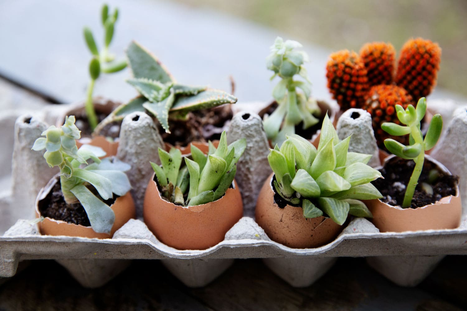 Succulent plants planted in eggshells and in an egg carton.