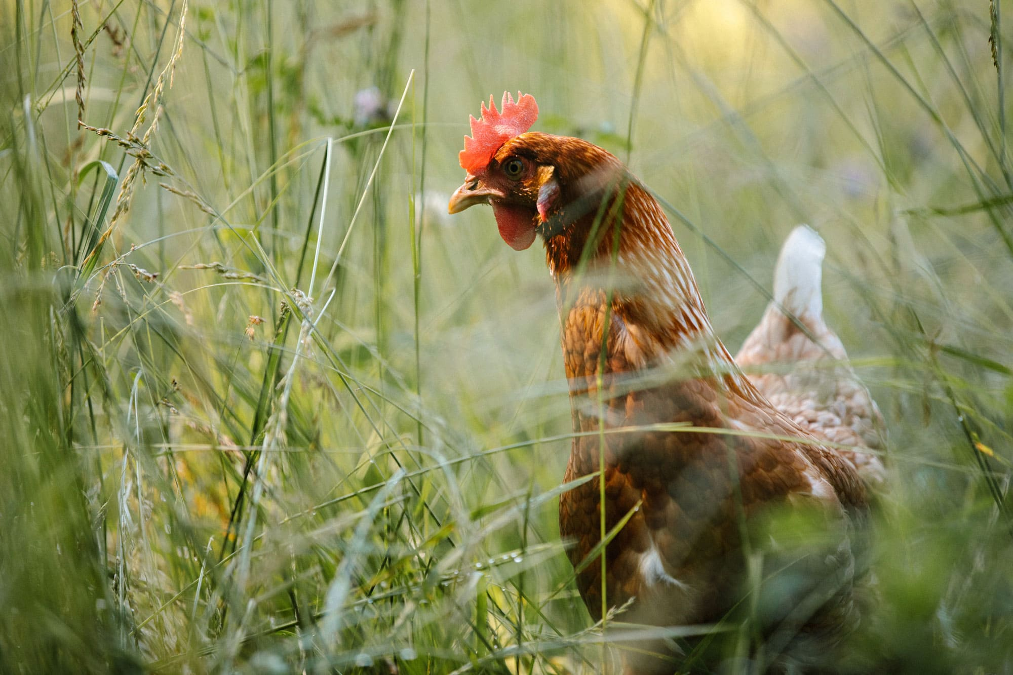 A photo of a chicken in a grassy field